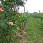 Roos bij Solaris druif