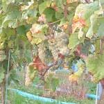 Johanniter druif