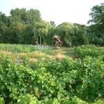 De wijnranken